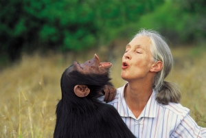 Dr. Jane Goodall with orphan chimpanzee Uruhara at the JGI Sweetwaters Sanctuary for orphan chimpanzees in Kenya. 2000